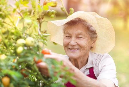 Hogere vrouw in haar tuin het oogsten tomaten