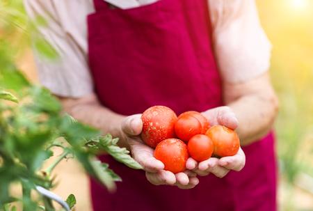 Femme âgée méconnaissable dans son jardin des tomates de récolte Banque d'images - 45176003