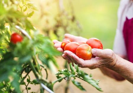彼女の庭のトマトを収穫で認識できない年配の女性