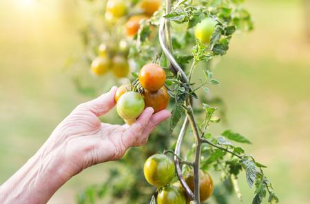 Unrecognizable senior woman in her garden harvesting tomatoes