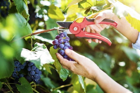 a hobby: Hands of a woman cutting a bunch of grapes