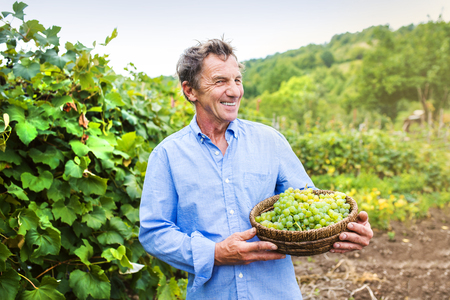 a shirt: Portrait of a senior man holding a basket with grapes Stock Photo