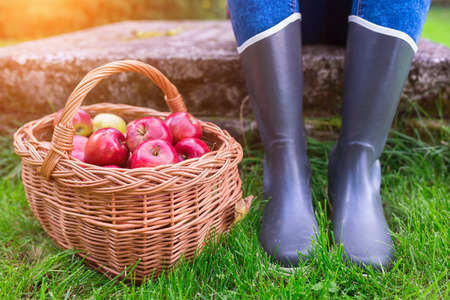 produces: Unrecognizable young woman in rubber boots with basket full of apples