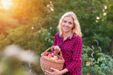 harvest: Beautiful young woman in red shirt harvesting apples
