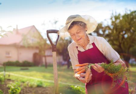 mujeres maduras: Superior de la mujer en su jard�n que cosecha zanahorias Foto de archivo