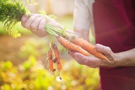 ?  ? carrot: Mujer mayor irreconocible en su jardín que cosecha zanahorias