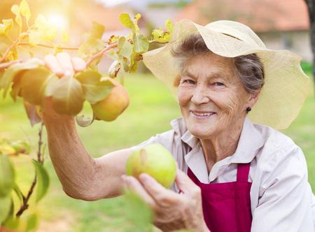 Hogere vrouw in haar tuin het oogsten peren Stockfoto