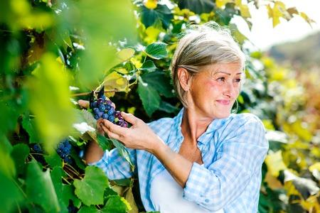 woman gardening: Portrait of a senior woman harvesting grapes