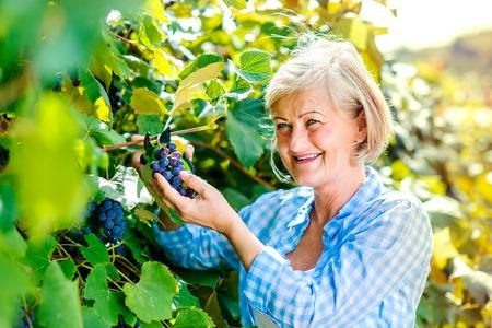 ブドウを収穫、年配の女性の肖像画