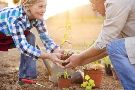 a hobby: Beautiful seniors outside in their garden planting the vegetable