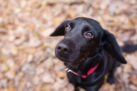 Black dog outside in sunny autumn forest Stock Photo
