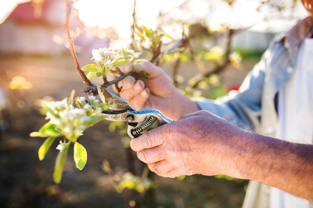 summer tree: Unrecognizable senior man pruning apple tree in his garden Stock Photo