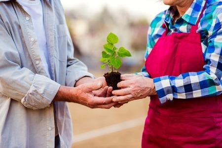 Cerca de irreconocible pareja senior sosteniendo poca plántula listo para plantar