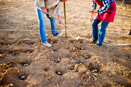 back hoe: Unrecognizable senior couple planting potatoes in their back yard in a row into ground Stock Photo