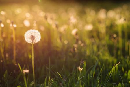 Verde prado de verano en la puesta del sol llena de dientes de león. Fondo de la naturaleza. Foto de archivo
