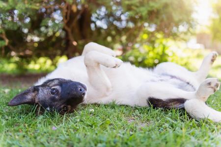 extending: Happy dog lying on his back in grass with extending paw, sunny nature Stock Photo