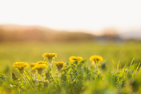 sky sun: Close up of dandelions on green sunny summer meadow. Nature background.