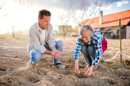 potato tree: Senior couple planting potatoes in their back yard into the ground