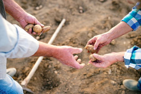 back hoe: Hands of unrecognizable senior couple planting potatoes into the ground