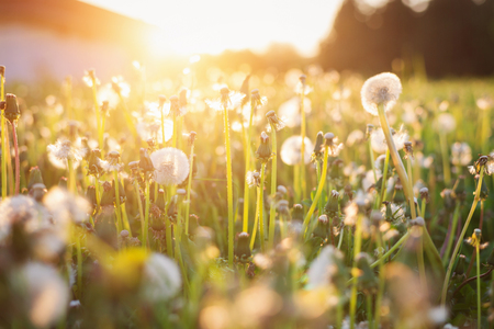 summer trees: Close up of green summer meadow at sunset full of dandelions . Nature background. Stock Photo
