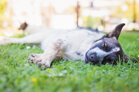 extending: Close up of happy dog lying in green grass with extending paws, sunny nature Stock Photo