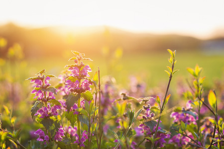Summer meadow with with various colorful flowers. Sunny nature background. Springtime. Sunset