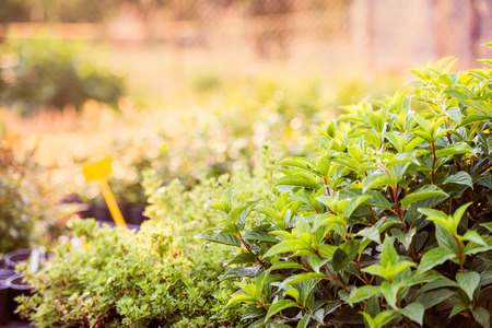herb garden: Green leaves of mint and other plant growing in the garden, sunny summer nature