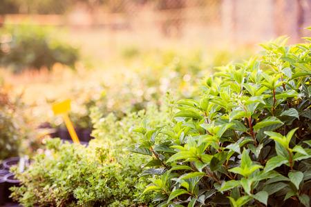 Groene bladeren van munt en andere planten groeien in de tuin, zonnige zomer natuur