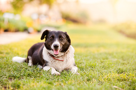 extending: Close up of happy dog lying in green grass with extending paws, sunny nature, sticking tongue out