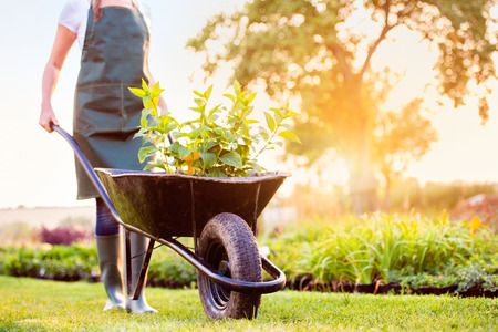 young tree: Unrecognizable gardener in green apron carrying seedlings in wheelbarrow, sunny summer nature, sunset