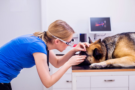 sore eye: Veterinarian examining German Shepherd dog with sore eye. Young blond woman working at Veterinary clinic. Stock Photo
