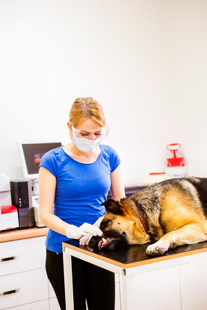 a medical examination: Veterinarian examining German Shepherd dog with sore mouth. Young blond woman working at Veterinary clinic. Stock Photo