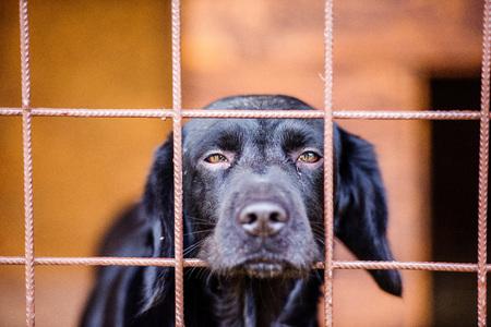 避難所の犬のクローズ アップ。ケージから外を見つめて、おびえたと悲しいの黒犬。