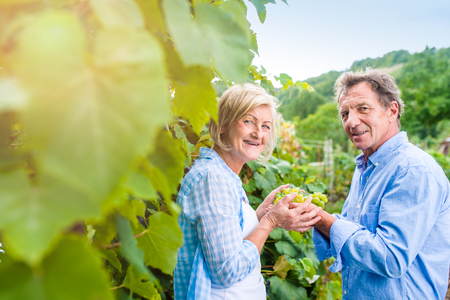 autumn garden: Senior couple in blue shirts holding bunch of ripe green grapes in their hands