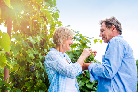 Senior couple in blue shirts holding bunch of ripe green grapes in their hands