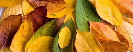 close shot: Autumn composition. Close up of wet colorful leaves. Studio shot.