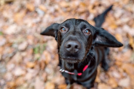 Close up of black dog with red collar outside in sunny autumn forest Stock Photo