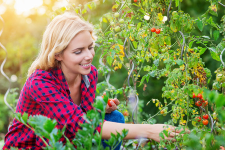 Beautiful young woman in checked red shirt harvesting tomatoes, sunny autumn Stock Photo
