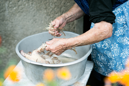 slaughtering: Unrecognizable senior woman cleaning and washing freshly slaughtered chicken outside in front of her house. Close up.