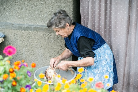 slaughtering: Senior woman cleaning and washing freshly slaughtered chicken outside in front of her house. Stock Photo