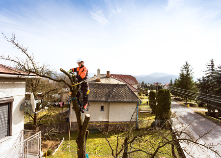 Lumberjack with chainsaw and harness pruning a tree. Stock Photo