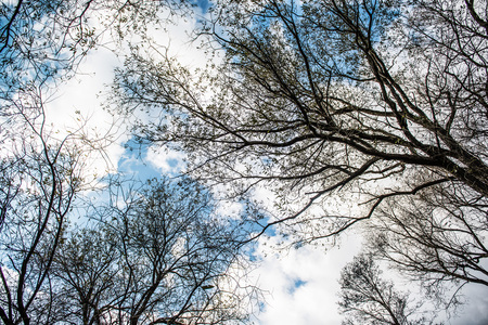 View of leafless treetops from the ground during winter.
