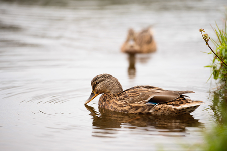 Two ducks in a pond. Animals in nature. Stock Photo