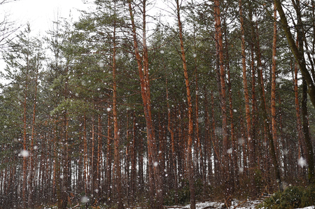 Coniferous trees in winter. Stock Photo