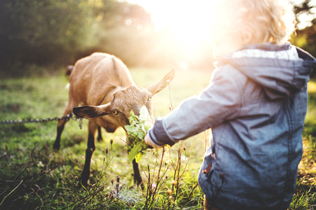 Un petit garçon de nourrir une chèvre à l'extérieur sur une prairie au coucher du soleil.