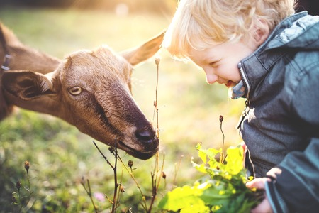 A little toddler boy feeding a goat outdoors on a meadow at sunset. Banque d'images - 105478581