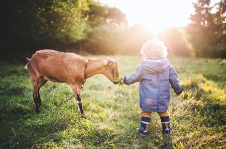 Un petit garçon de nourrir une chèvre à l'extérieur sur une prairie au coucher du soleil. Banque d'images