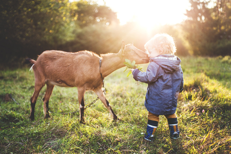 A little toddler boy feeding a goat outdoors on a meadow at sunset. Banque d'images - 105478585