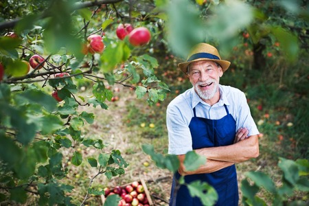 A senior man standing in apple orchard in autumn, arms crossed. Stock Photo