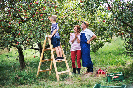 A small boy with his gradparents picking apples in orchard. Stock Photo